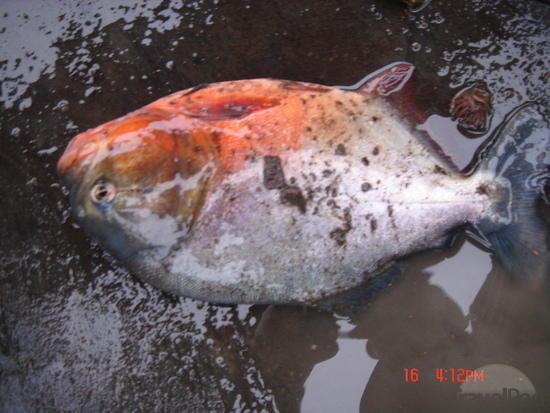 dead piranha